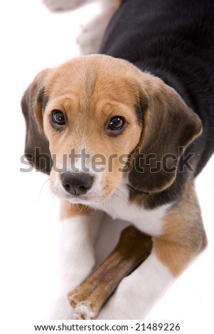 Cute young beagle pup looking very protective of it's bone