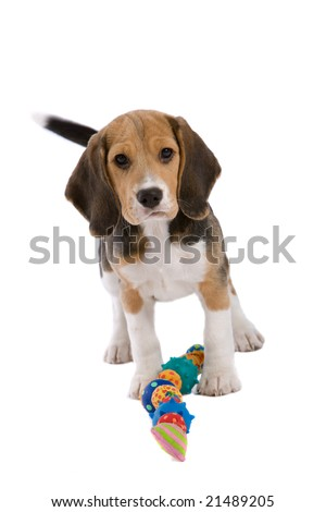 Cute young beagle pup looking very protective of it's toys