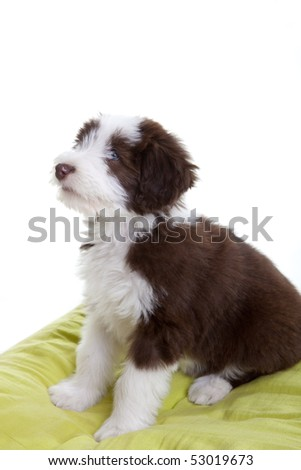 Cute young bearded collie pup sitting on it's pilow