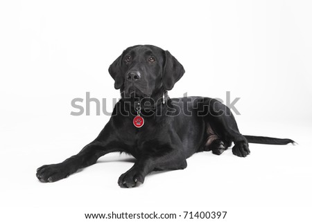Cute young black dog with collar and dog tag lying - stock photo