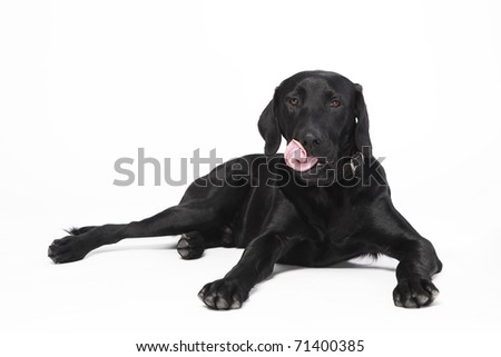 Cute young black dog with collar lying licking his mouth with tongue - stock photo