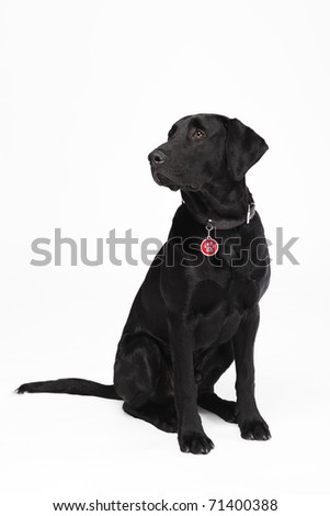 Cute young black sitting dog with collar and dog tag - stock photo