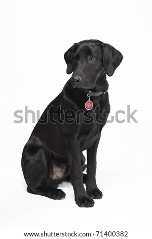 Cute young black sitting dog with collar and dog tag looking down - stock photo