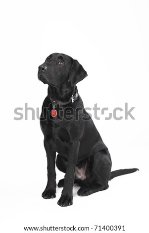 Cute young black sitting dog with collar and dog tag looking up