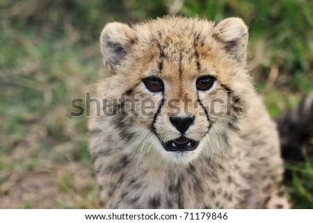 Cute young cheetah cub with spotted fur