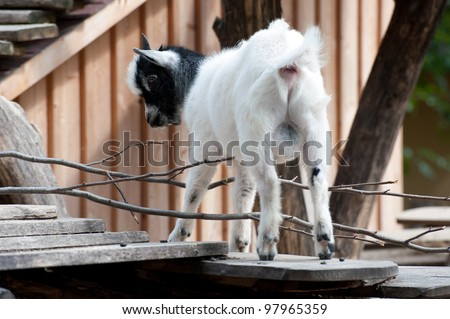 cute young goat in ZOO