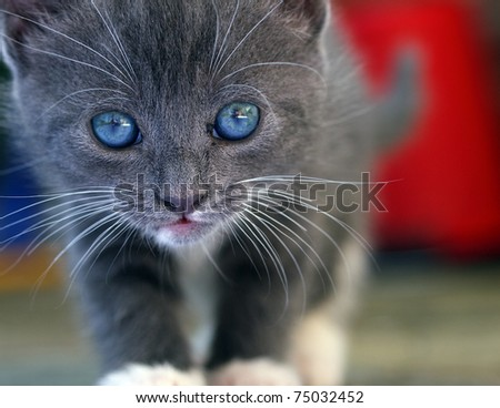 Cute young grey kitten