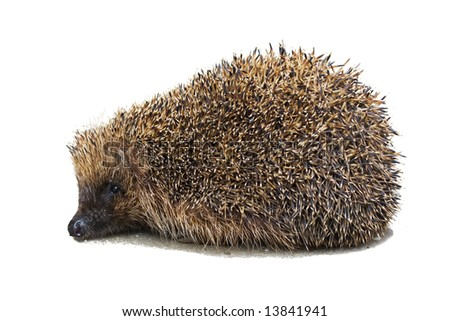 Cute young hedgehog isolated over white background - stock photo