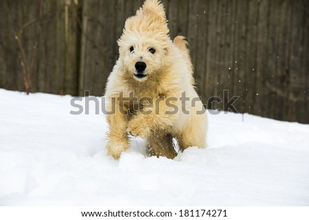 Cute young labradoodle puppy playing in the snow