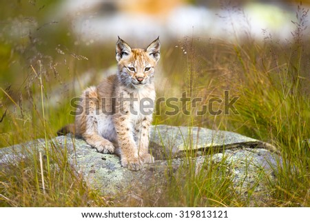 Cute young lynx cub sitting in the grass - stock photo