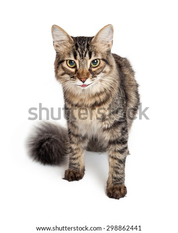 Cute young Maine Coon tabby cat sitting looking forward