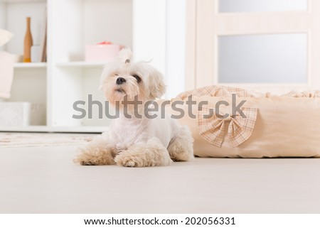 Cute young Maltese laying near his bed at home - stock photo