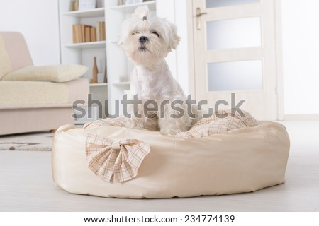 Cute young Maltese sitting on his bed at home - stock photo