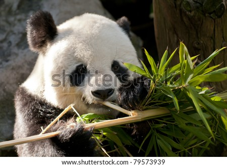 Cute Young Panda Bear looking directly into the camera - stock photo
