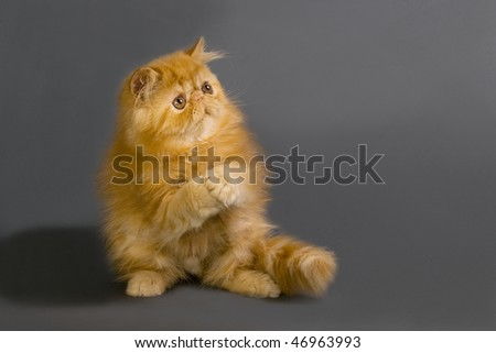 Cute young Persian cat on  gray background. - stock photo