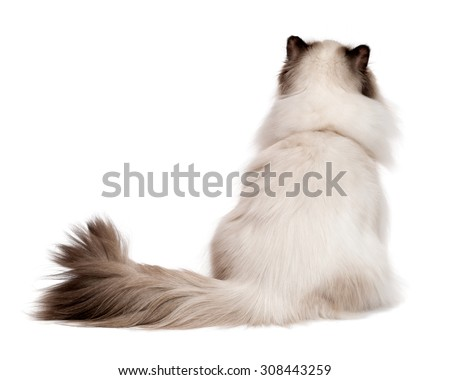 Cute young persian seal colourpoint cat is sitting and looking up - photographed from behind, isolated on white background