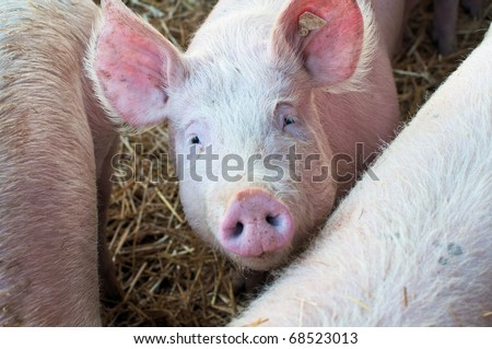 Cute young pig looking up in a stable - stock photo