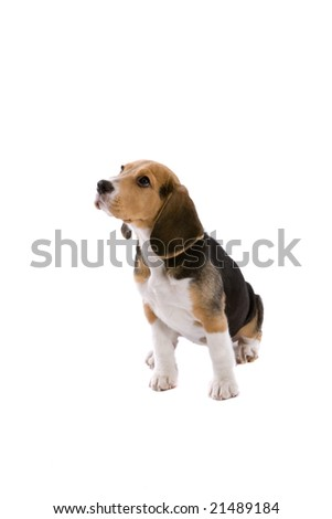 Cute young puppy beagle on white background - stock photo