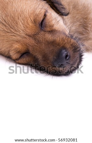 Cute young puppy peacefully sleeping, studio shot.