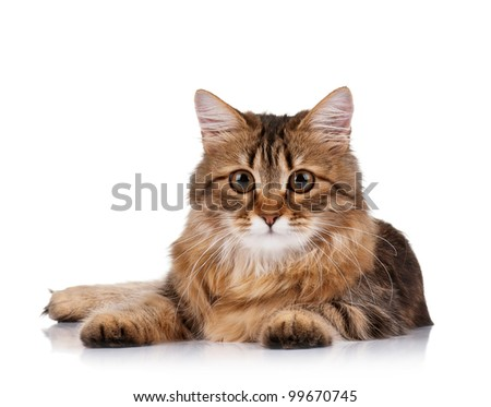 Cute young Siberian cat