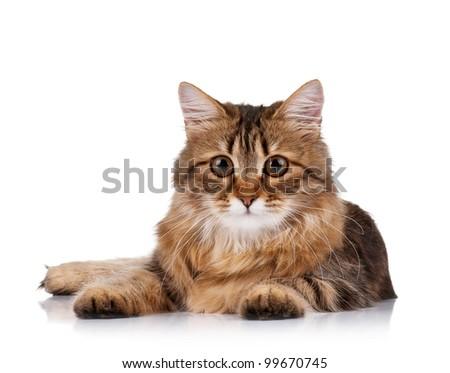 Cute young Siberian cat - stock photo