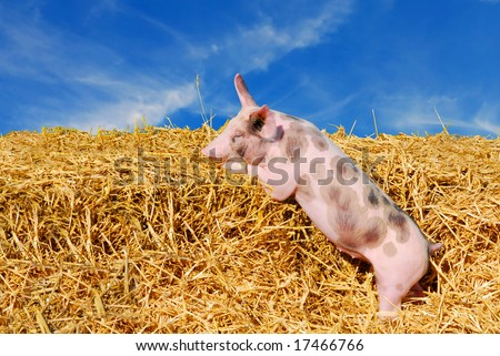 Cute young spotted pig in straw paddock with blue sky background - stock photo