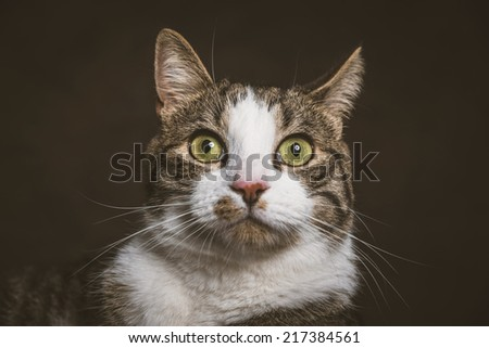 Cute young tabby cat with white chest against dark fabric background. Studio shot. - stock photo