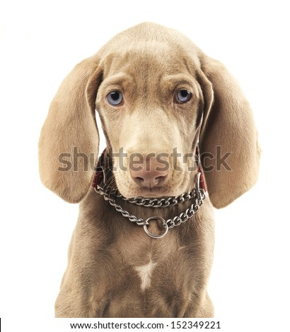 Cute young Weimaraner dog on pure white background - stock photo