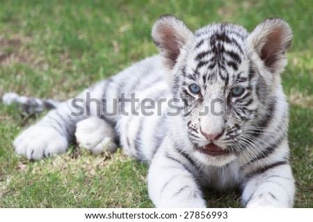 Cute young white bengal tiger cub (p. t. bengalensis) - stock photo