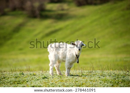 Cute young white goatling outdoors. Summer time
