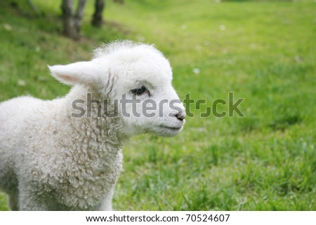 Cute young white lamb - stock photo