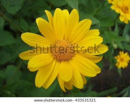Cutleaf coneflower (rudbeckia) yellow flower.