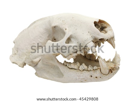 cutout of canine dog skull with jaw and jagged teeth with mouth open - stock photo