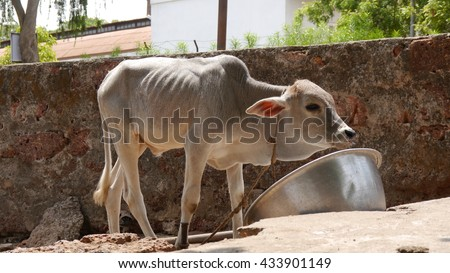 CUTTACK, INDIA - 17 MAY, 2016: Indian holy cow standing and eating from pot.