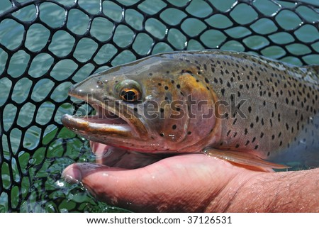 Cutthroat trout in fisherman's net ready for release - stock photo