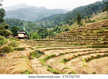 cutting field of rice - harvest in Nepal - stock photo