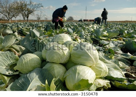 Cutting of a cabbage - stock photo