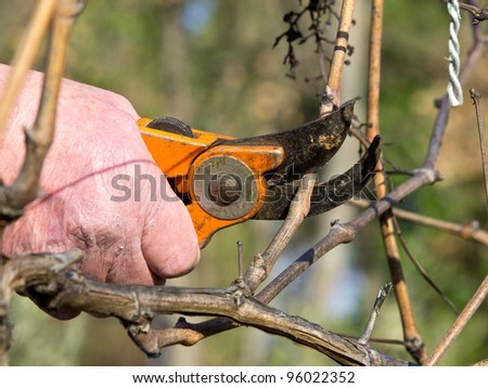 cutting old branches in vineyard in spring by the old man - stock photo