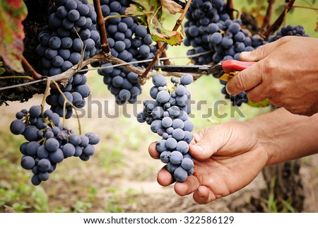 cutting ripe grape - stock photo