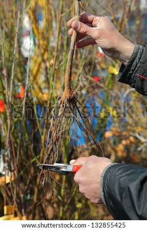 Cutting root of grape plant before planting, pruning - stock photo