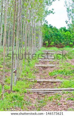 Cutting wood Eucalyptus trees Deforest  - stock photo