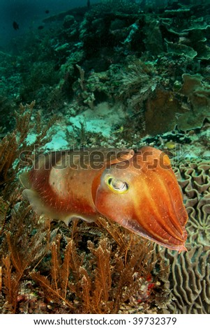 cuttle fish face to face - stock photo