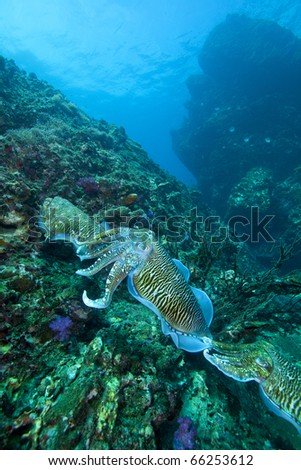 Cuttle fish, order Sepiida, class Cephalopoda, train at Thailand's famous Dive site Richelieu Rock in the Andaman sea! - stock photo