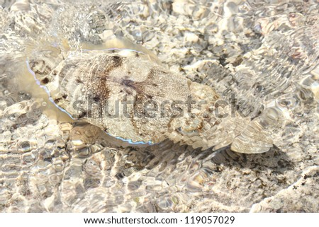 Cuttle in a shallow water - stock photo