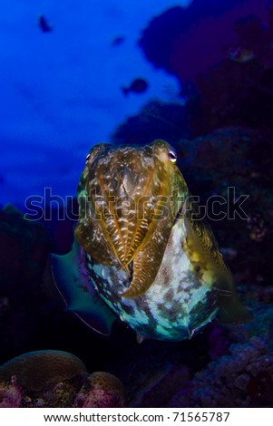 Cuttlefish (cephalopod) floating above a coral reef. Taken in the Wakatobi, Indonesia.