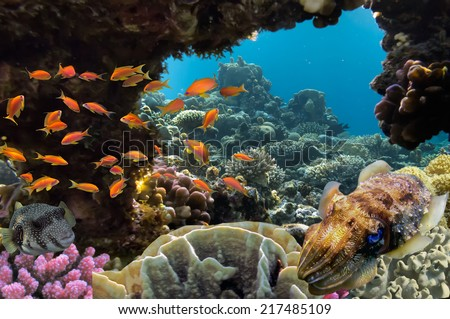 Cuttlefish on Coral Reef in the Red Sea, Egypt - stock photo