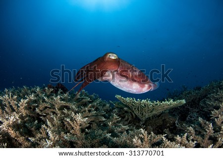 Cuttlefish on Pristine Coral Reef in Papua New Guinea - stock photo