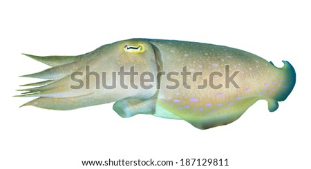 Cuttlefish (Sepia) isolated on white background - stock photo
