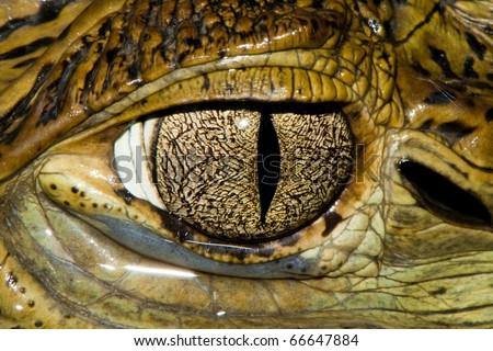 Cuvier's Dwarf Caiman Eye - detail - stock photo