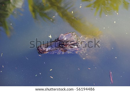 Cuvier's dwarf caiman (Paleosuchus palpebrosus) is the smallest species of all crocodilians. Most of the caiman species are endangered. Inspires more fear put so! - stock photo